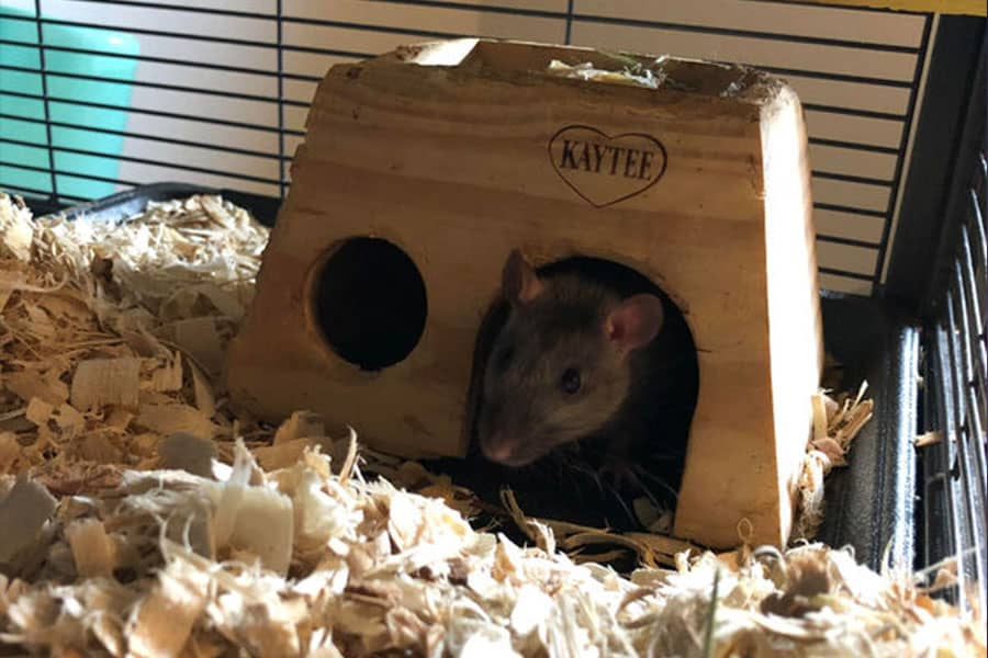 3 Reasons Every Family Needs a Pet Rat